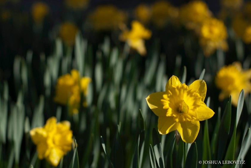 Daffodils_05112019